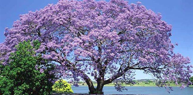 Pavlovnija – kitajsko hitrorastoče drevo, ki nas lahko greje že po nekaj letih
